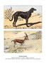 Saluki 8 (repro planche Livre illustré par Malher, et aquarelle HLG, coll. Manializa)