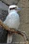 "Jägerliest, bekannt als ""Lachender Hans"" oder Kookaburra (Dacelo novaeguineae)"