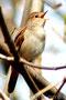 Nachtigall (Luscinia megarhynchos)