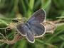 ヤマトシジミ♀ですが、この時期としては、かなり青色鱗が発達しているようです、半田市2010.10.17