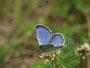 前翅の黒点も目立たず、後翅もすっきりした♂ですが、もう少し新鮮ならもっと良かったんですが・・・(E-3)