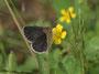 カタバミに吸蜜に来たヤマトシジミ♀ですが、羽化不全のようですね、半田市2010.10.17