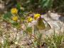 黄色い花(何でしょう?)で吸蜜するミヤマモンキチョウ♀、常念岳2010.07.25