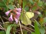 イワカガミで吸蜜するミヤマモンキチョウ♂、北アルプス2010.07.18
