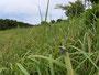棲息地の草原、いたるところにシバハギが生えていました2008年8月30日