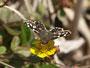 ミツバツチグリの花にやってきました