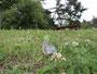 公園の池の畔にクララが何か所か植えられており、近くにあるシロツメクサに吸蜜に来ました(E-P1)
