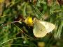 黄色い花(何でしょう?)で吸蜜するミヤマモンキチョウ♂、常念岳2010.07.25