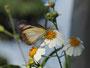 タイワンシロチョウ:竹富島2009年5月12日