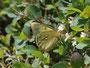 クロマメノキの群落の中に咲いている白い花(何でしょう?)で吸蜜するミヤマモンキチョウ♂常念岳2010.07.25