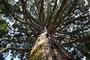 Äste eines über 150 Jahre alten Mammutbaumes
