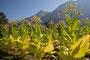 Tabakpflanze blüht