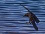 Wasserkrähe