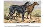 Scottish deerhound 2 (repro planche d'un livre illustré par Malher, coll. Manializa)