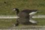 Hybridgans (c) A. Stöhr