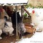Die Hühner reagierten mit verstecken ...