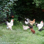 Gruppe Brahmas und Legehühner