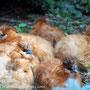 Seidenhuhn-Henne Junggruppe