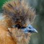 Seidenhuhn-Henne