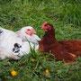 Hühnerliebe ..