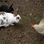 Huhn meets Hase. Bei uns sagen die Hasen den Hühnern Gute-Nacht.