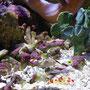 サンゴ水槽なので、大きい魚は飼えず、こんな生き物がすんでいます。