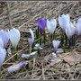 Crocus © Association du Jardin Alpin des Diablerets.