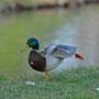 Ente dehnt sich