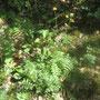 Gewöhnliche Straußmargerite (Tanacetum corymbosum) - NSG Bilstein bei  Bad Wildungen 14.07.12 - Foto: B. HANNOVER