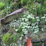 Trompeten-Becherflechte (Cladonia fimbriata) Waldspitze sö Hetscholdsmühle n Armsfeld - Foto: B. Hannover