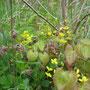 Gefiederte Sockenblume (gelb blühend) (Epimedium pinnatum) - Bornebach Bad Wildungen 30.04.13 - Foto: B. HANNOVER