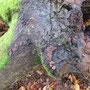 Rötliche Kohlenbeere (Hypoxylon fragiforme) an Buche - ND21001 Halloh sw Albertshausen - Foto: B. Hannover