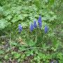 Armenische Traubenhyazinthe (Muscari armeniacum) - Schlossberg Bad Wildungen (West) 26.04.13 - Foto: B. HANNOVER