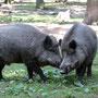 Wildschweine - Foto: Gerhard Kalden, www.kalden-naturfoto.de
