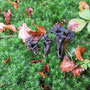 Totentrompete               (Craterellus cornucopioides) - ND21001 Halloh sw Albertshausen - Foto: B. Hannover