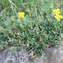 Gewöhnliches Sonnenröschen (Helianthemum nummularium) - Schlossberg Bad Wildungen 27.07.11 - Foto: B. HANNOVER