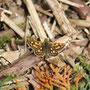 Gelbwürfeliger Dickkopffalter (Carterocephalus palaemon) - Foto: B. Hannover