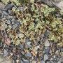 Ausdauernder Knäuel (Scleranthus perennis) - NSG Bilstein bei Bad Wildungen 13.07.12 - Foto: B. HANNOVER