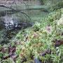 Sumpf-Torfmoos (Sphagnum palustre) - Moorgewässer sw Hügelgräber nw Odershausen 07.12.14 - Foto: B. HANNOVER