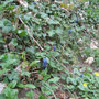 Weinbergs-Traubenhyazinthe (Muscari neglectum) - Schlossberg Bad Wildungen (Süd) 26.04.13 - Foto: B. HANNOVER