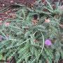 Stängellose Kratzdistel (Cirsium acaulon) - NSG Bilstein bei Bad Wildungen 12.07.12 - Foto: B.HANNOVER