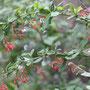 Gewöhnliche Berberitze (Berberis vulgaris) - FFH Schartenberg nw Altwildungen 21.09.13 - Foto: B. HANNOVER