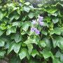 Nesselblättrige Glockenblume (Campanula trachelium) - Bornebach Bad Wildungen 20.06.14 - Foto: B. HANNOVER