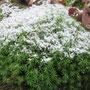 Schönes Frauenhaarmoos (Polytrichum formosum) - NSG Sondertal Bad Wildungen 04.12.14 - Foto: B. HANNOVER