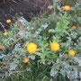 Garten-Ringelblume (Calendula officinalis) - Sondertal Bad Wildungen (Itzelstr.) 24.10.14 - Foto: B. HANNOVER