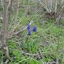 Kleine Traubenhyazinthe (Muscari botryoides) - Schlossberg Bad Wildungen (Schloss) 25.04.13 - Foto: B. HANNOVER