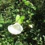 Gewöhnliche Zaunwinde (Calystegia sepium) - Königsquelle Bad Wildungen 20.9.14 - Foto: B. HANNOVER