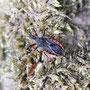 Geringelte Raubwanze (Rhynocoris annulatus) - Foto: B. Hannover