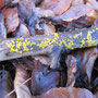 Zitronengelbes Holzbecherchen (Bisporella citrina) - ND Hahnberg Reinhardshausen - Foto: B. Hannover