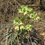 Stinkende Nieswurz (Helleborus foetidus) - Weinberg sw Altwildungen (s Dachsköppel) 22.02.15 - Foto: B. HANNOVER